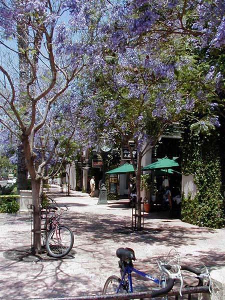 Jacaranda en fleurs dans les rues de Santa Barbara